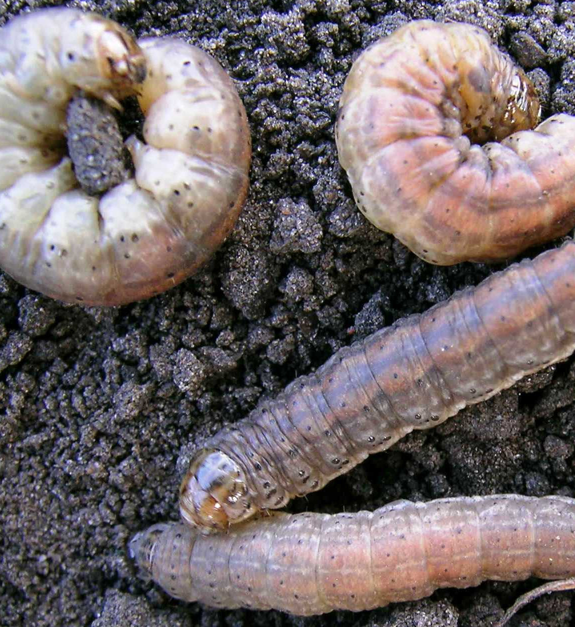 Fig.-7-1.-Redbacked-Cutworms-.John-Gavloski