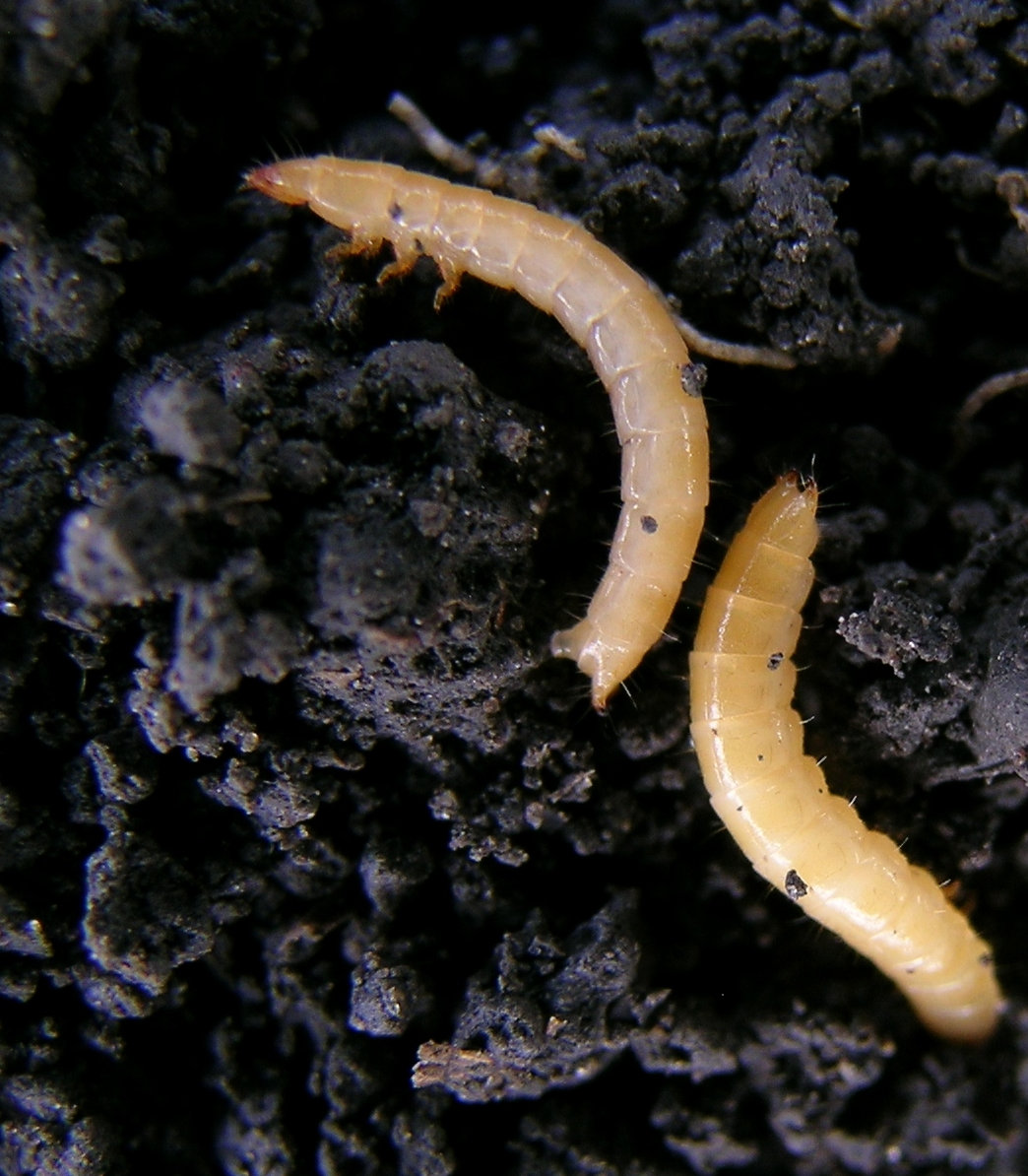 Fig.-7-3.-Wireworms.-John-Gavloski