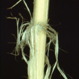 Photo 14, sclerotinia stem shredding