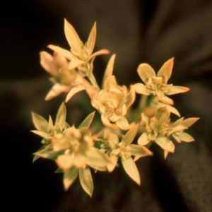 Photo 17, Flax Aster Yellows, petals turn to yellowish-green small leaves