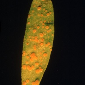 Photo 2, flax rust on leaf leaf