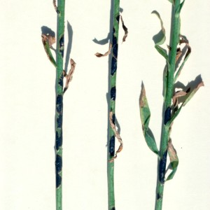 Photo 3, rust uredia and telia on flax stems