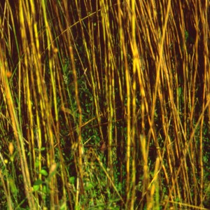 Photo 9, severe pasmo on flax stems