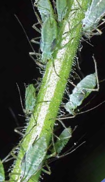guide-aphids