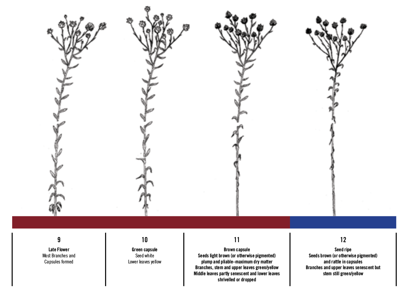 Chapter 4 Growth And Development Flax Council Of Canada Diagram Showing The Stages Germination Market News