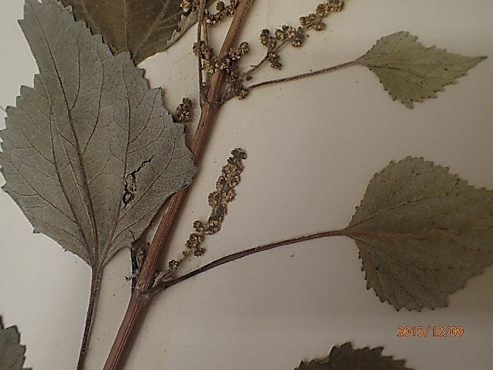 ragweed-fig3